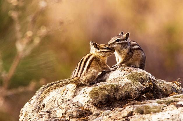 two chipmunks touching nose to nose