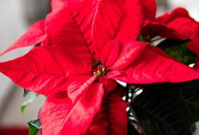 7 Surprising Facts About Winter Holiday Plants