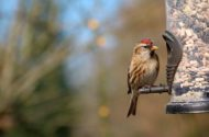 redpoll at seed feeder