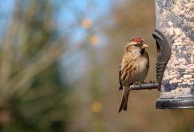 Ask the Bird Experts: Do Birds Get Dependent on Feeders?