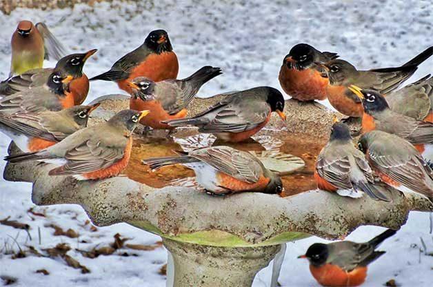 flock of robins at birdbath in winter