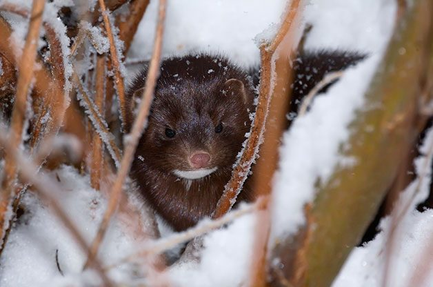 a mink in winter