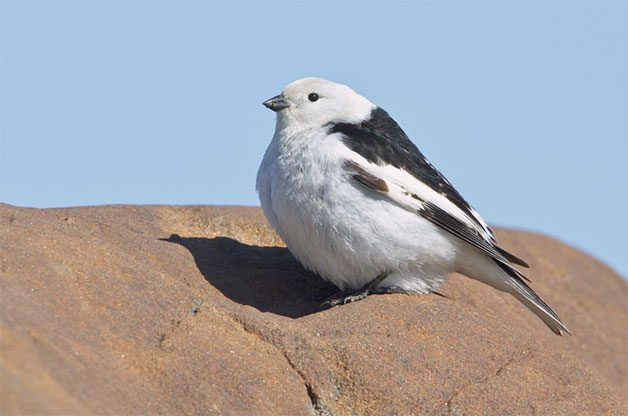 snow bunting arctic bird on rock