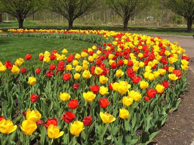 tulip beds
