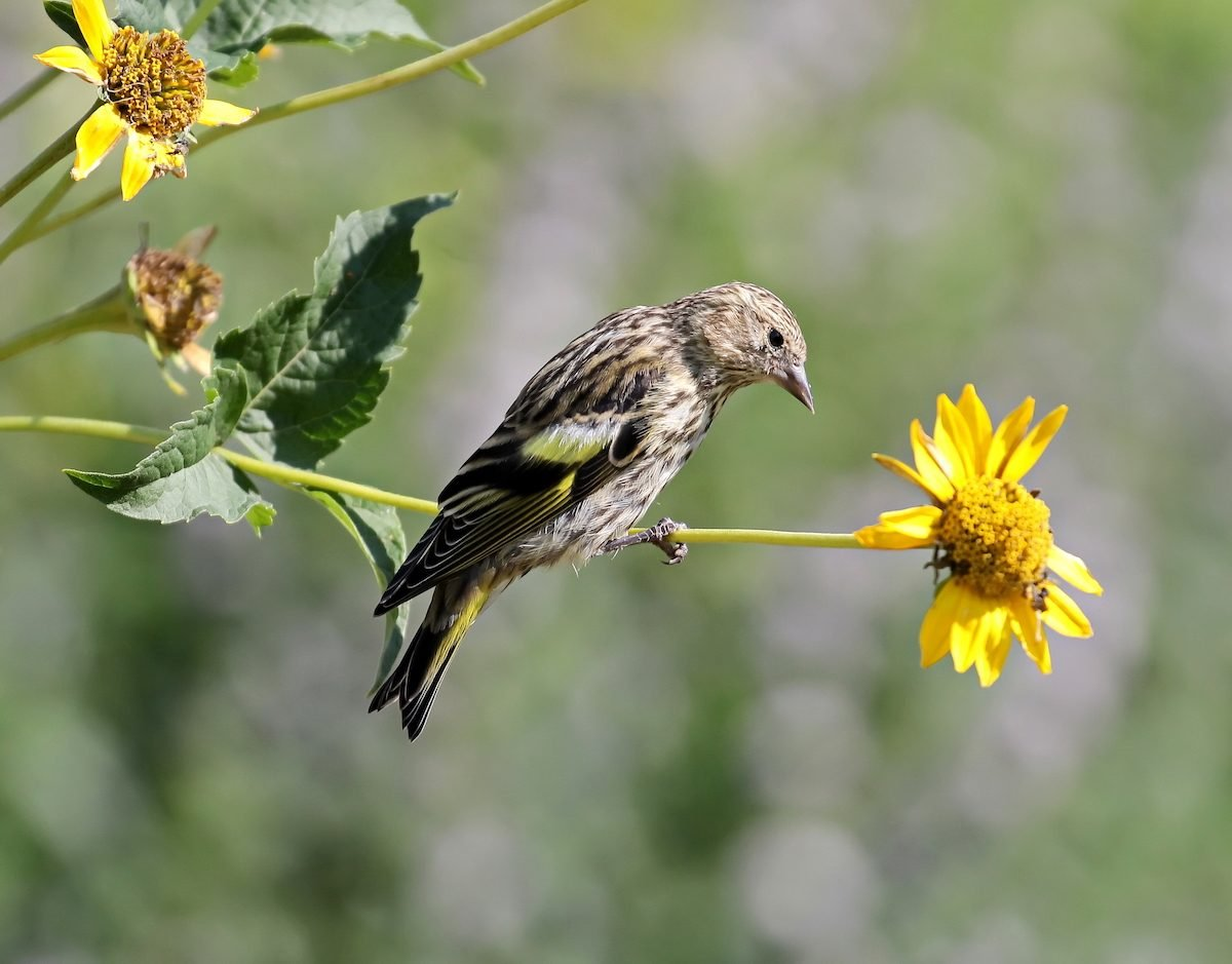 pine siskin on flower stem