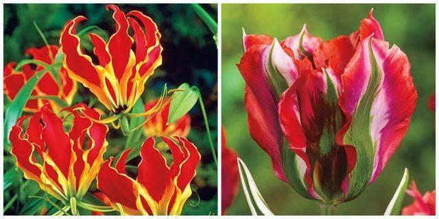 Flower Bulbs Michigan Bulb