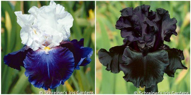 Flower Bulbs Schreiners