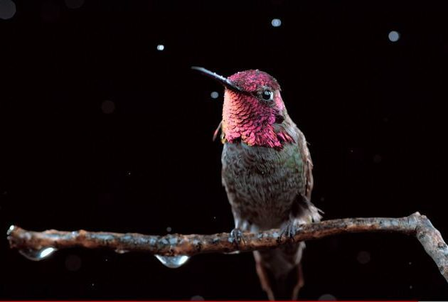 Hummingbird Videos National Geographic You Tube
