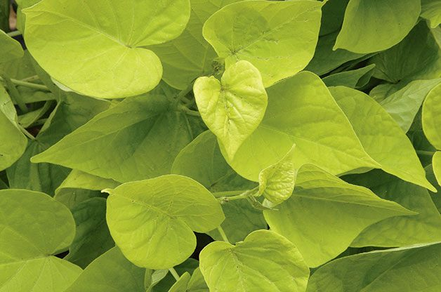 Bright yellow-green sweet potato leaves from White Flower Farm.