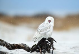 Don't Miss The Latest Snowy Owl Irruption