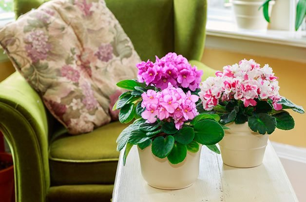 African violet flowering houseplant on coffee table.