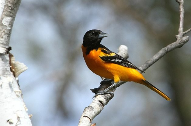 A Baltimore oriole is perched on a branch.