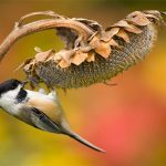 The Chickadee Bunch: All About Chickadees