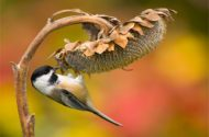 A black-capped chickadee clings to a dried sunflower.