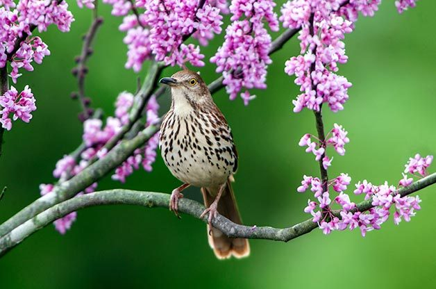 Brown thrasher sitting in tree branch surrounded by pink blooms.
