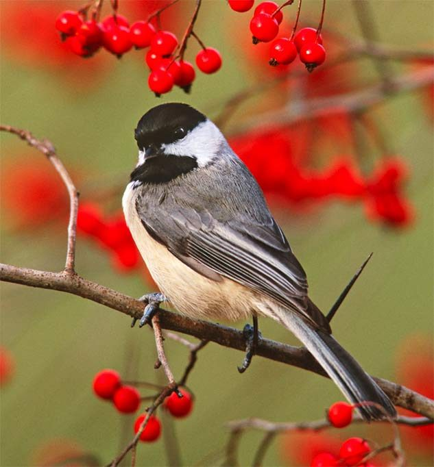 A Carolina chickadee perched on a berry tree branch.
