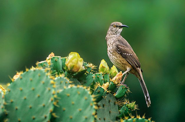 Curve-billed thrasher on blooming cactus.