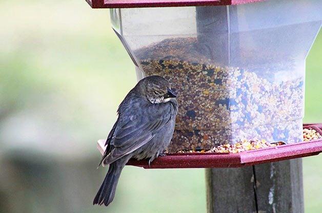 Female brown-headed cowbird at feeder
