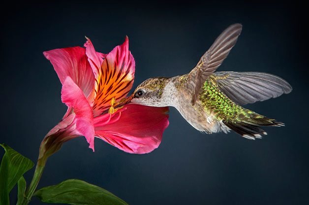 Female ruby-throated hummingbirds stops at pink flower.