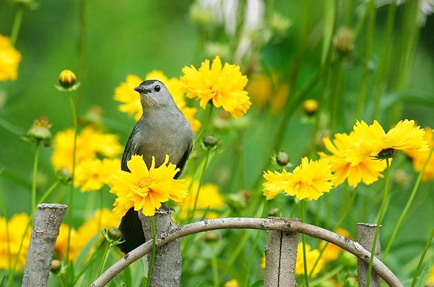 Gray catbird sits on fence surrounded by yellow flowers.