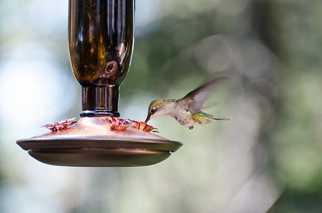 Sugar water is a great way to attract hummingbirds.