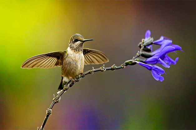Hummingbird lands on a purple flower with outstretched wings.