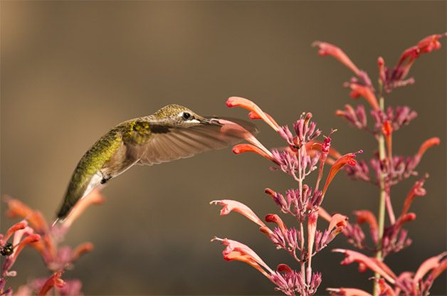 Hummingbird sips nectar from a flower.
