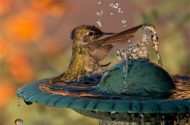anna's hummingbird splashing in water