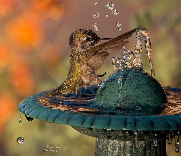 Anna's hummingbird splashing in water