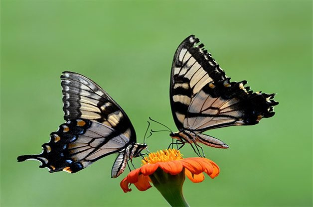 Male and female eastern tiger swallowtails on Mexican sunflower bloom