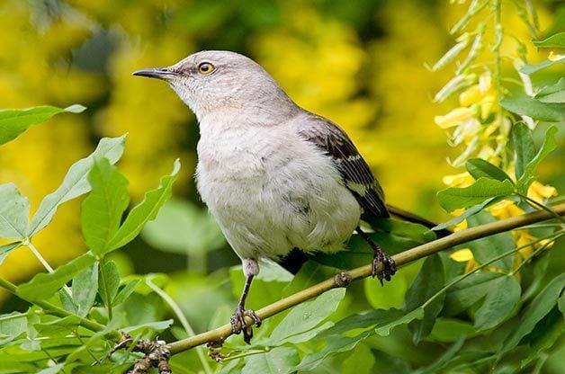 Northern mockingbird on branch.