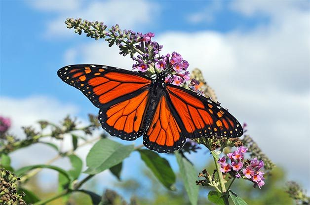 Monarch lands on butterfly bush against blue sky background.