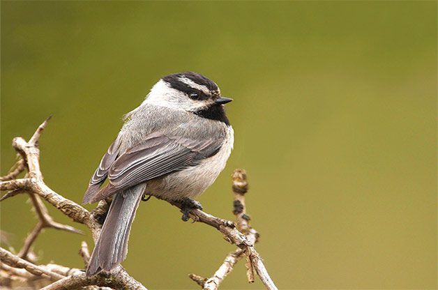 Mountain chickadee perched on branch.