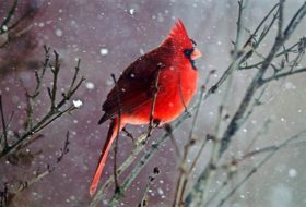 6 Ways to Attract More Cardinals