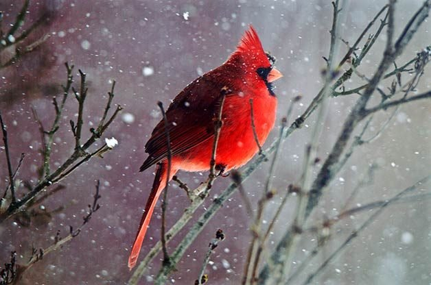 51 best winter bird photos ever birds and blooms - Pictures of cardinals in snow ...