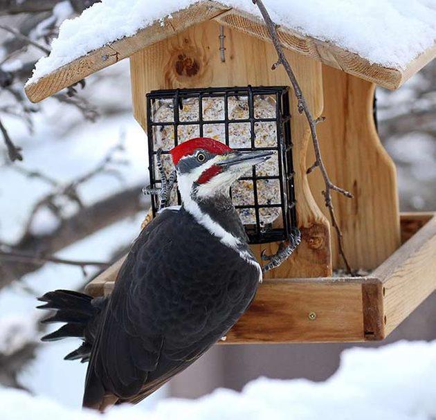 pileated woodpecker at suet feeder