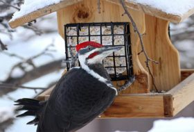 Are Pileated Woodpeckers Common at Feeders? // Ask the Bird Experts