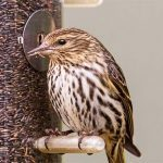 All About Pine Siskins