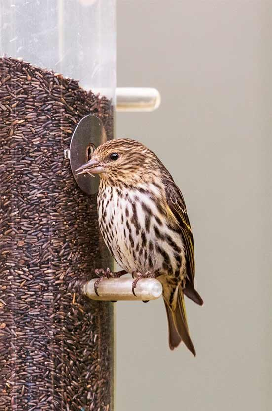 Pine siskin on thistle feeder