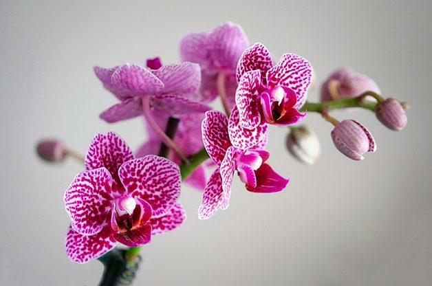 Pink and white orchid houseplant