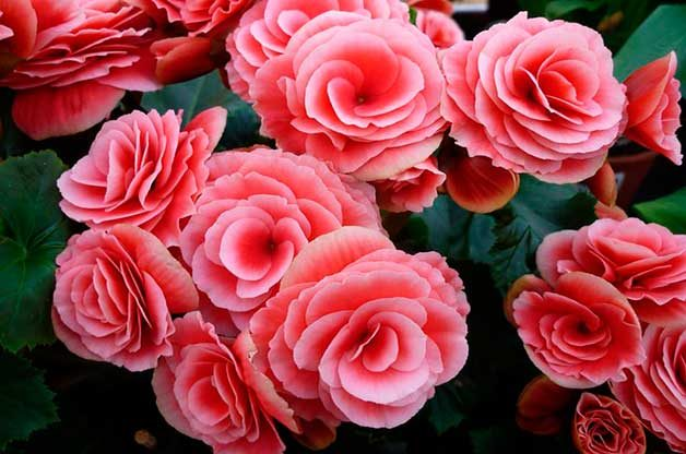 Pink begonia blooms are flowering houseplants.