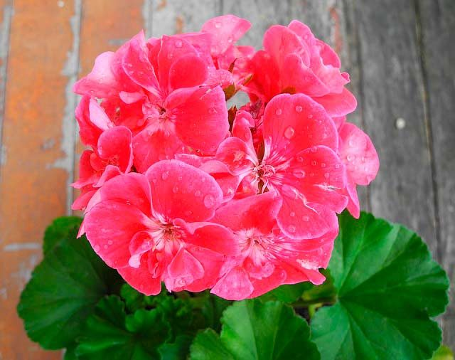 Pink geranium with water droplets.