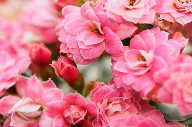 Pink kalanchoe flowering houseplant.