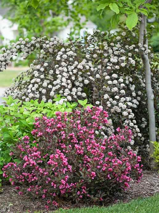 Prune pink weigela and white ninebark shrubs after their first flush of flowers.