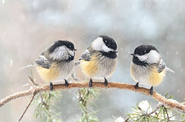 Three chickadees on a branch in falling snow.
