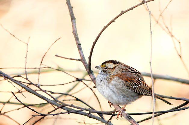 White-throated sparrow rests on branch.