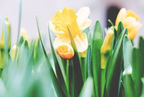 Will My Daffodils Bloom This Spring? // Ask the Garden Expert