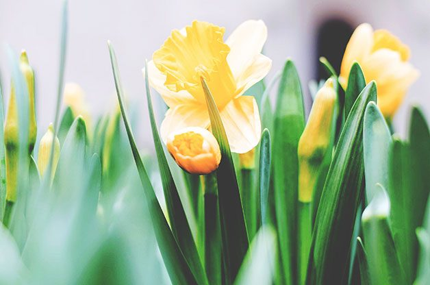 Yellow daffodils in spring.