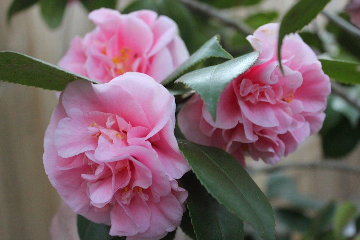 pink debutante camellia bush