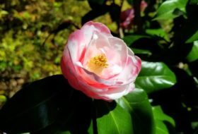 A Beginner's Guide to Camellias